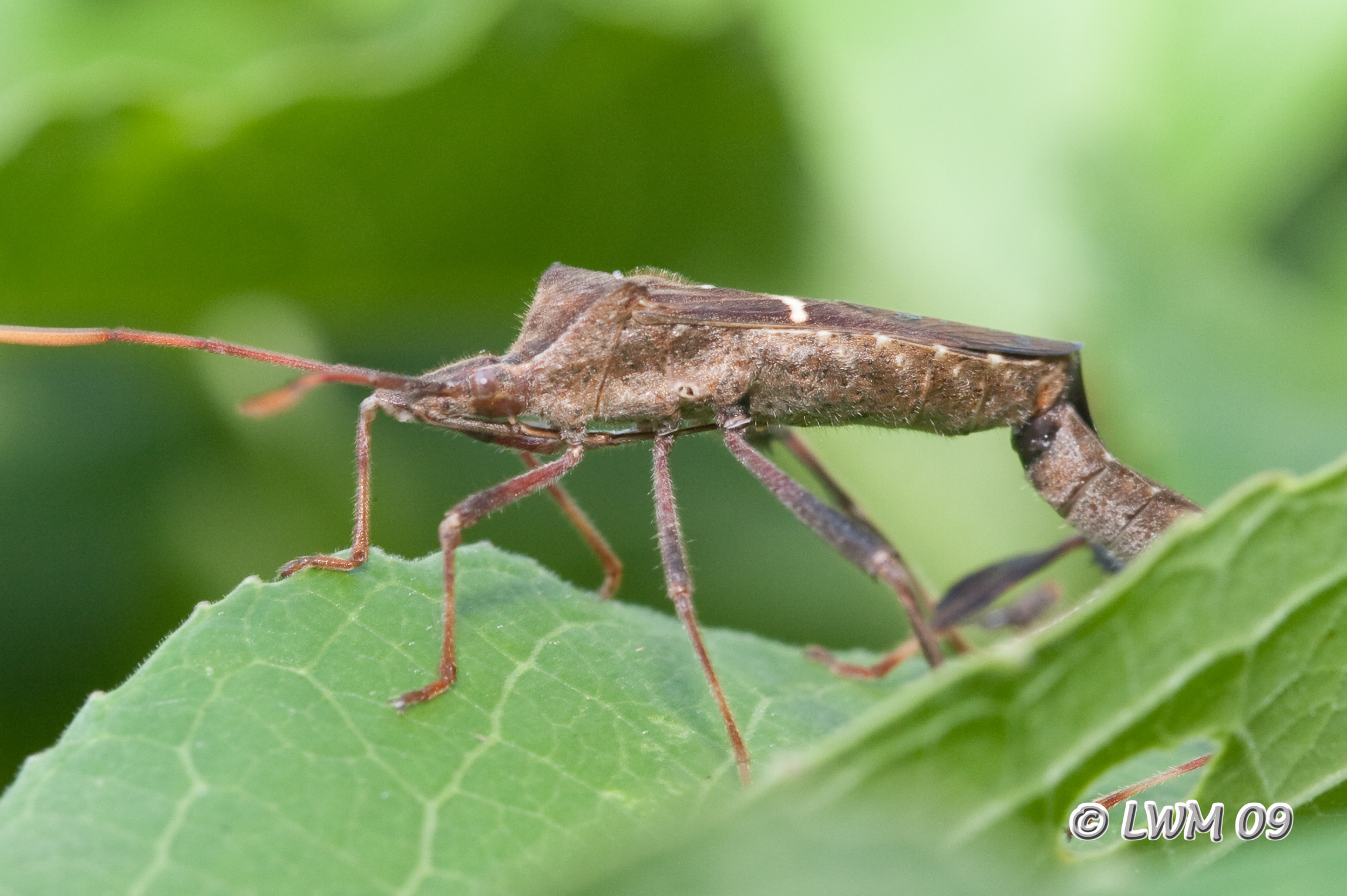 Leaf Footed Bug | Butterfly And Wildlife Gardening And Photography
